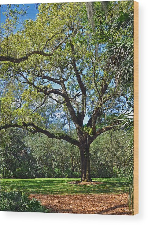 Landscapes Wood Print featuring the photograph Bok Tower Gardens Oak Tree by Deborah Good