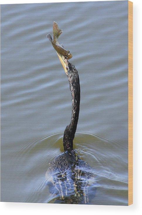 Bird Wood Print featuring the photograph Anhinga Catch by Rosalie Scanlon