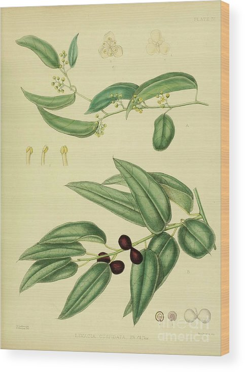 Botanical Wood Print featuring the digital art Vintage Botanical Illustration by Alexandr Testudo