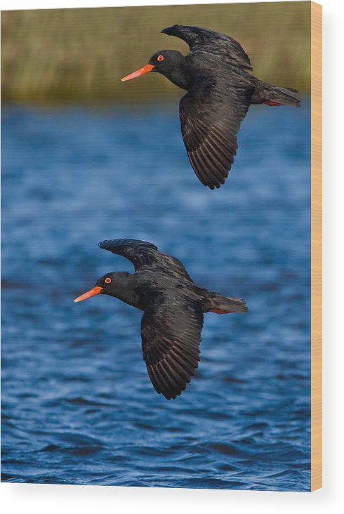 Bird Wood Print featuring the photograph African Black Oystercatchers by Basie Van Zyl