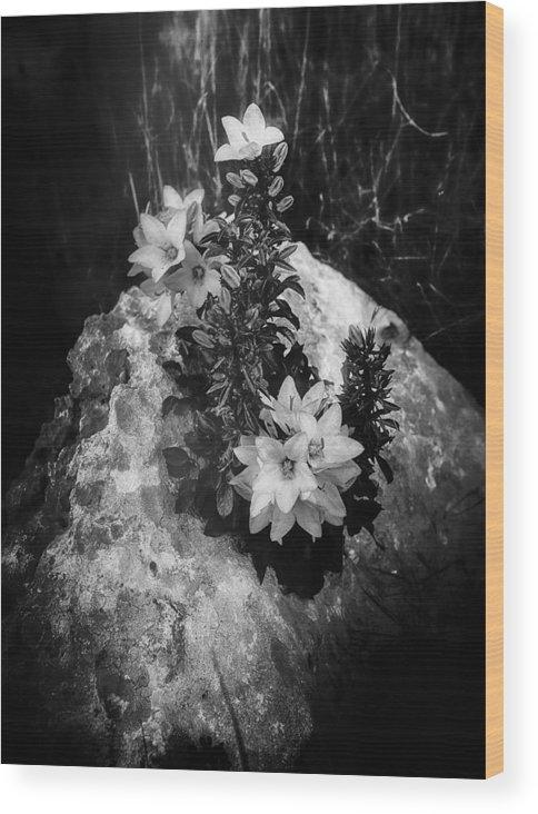 Campanula Wood Print featuring the photograph Campanula by Marcello Montinari