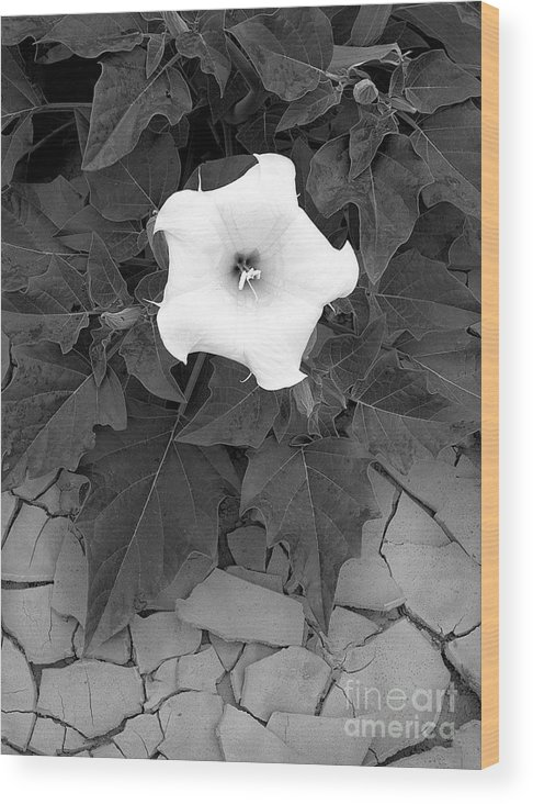 Datura Wood Print featuring the photograph Datura by Christian Slanec