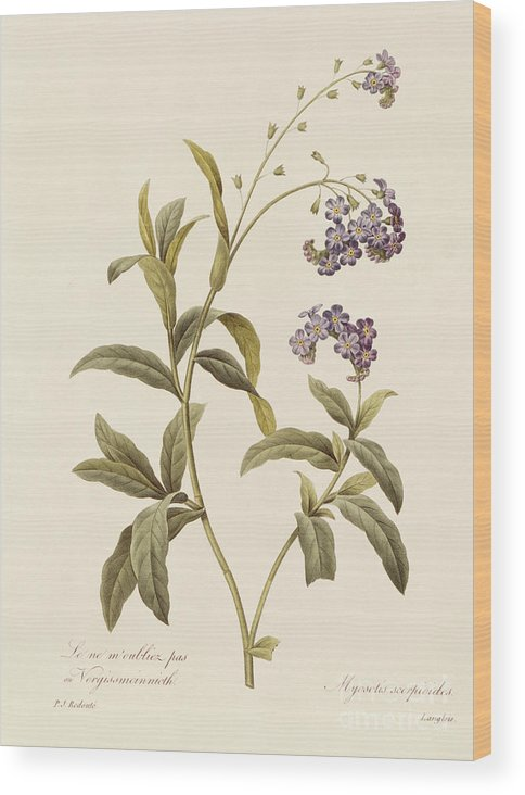 Forget-me-not Wood Print featuring the drawing Forget Me Not by Pierre Joseph Redoute