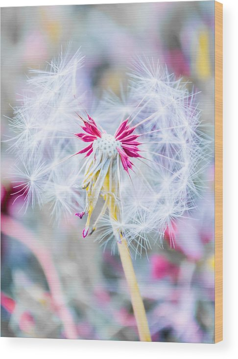 Pink Wood Print featuring the photograph Pink Dandelion by Parker Cunningham