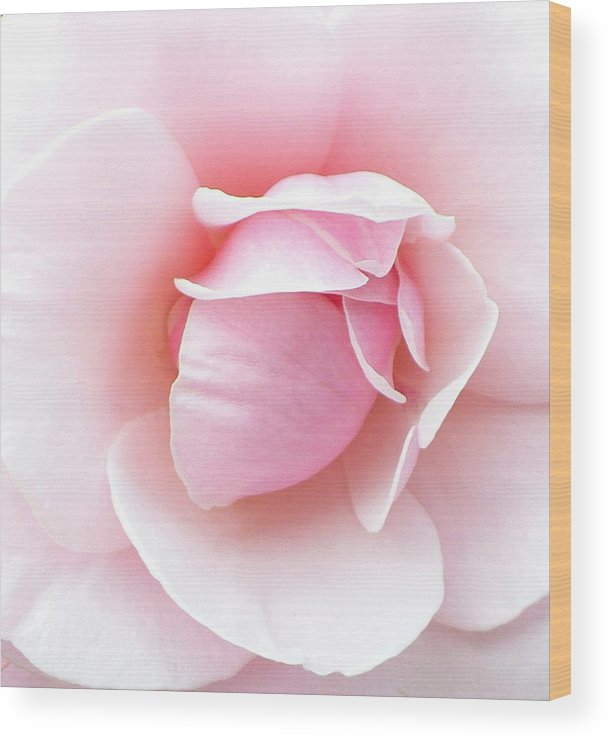 Botanical Wood Print featuring the photograph Powder Puff Rose by Florene Welebny