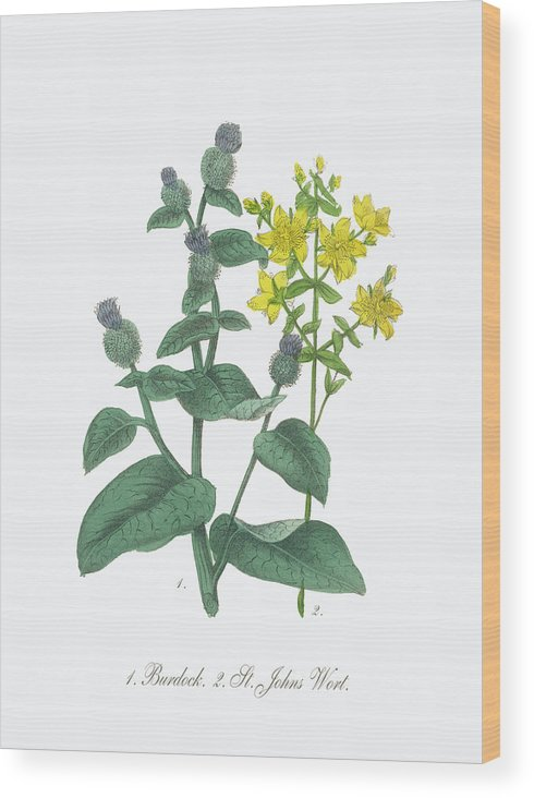White Background Wood Print featuring the digital art Victorian Botanical Illustration Of by Bauhaus1000