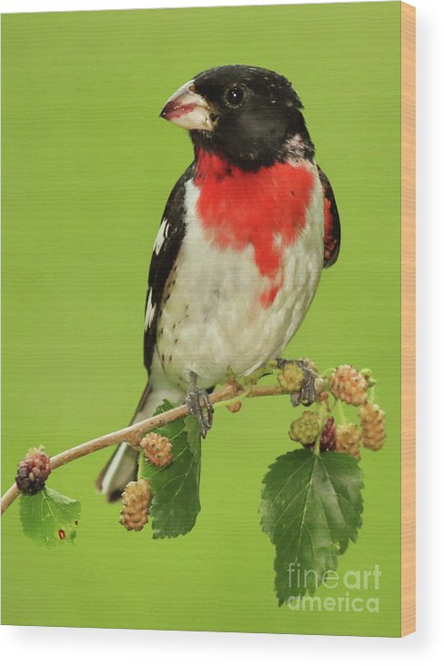 Autumn Wood Print featuring the photograph Grosbeak With Mulberry-Stained Beak by Max Allen