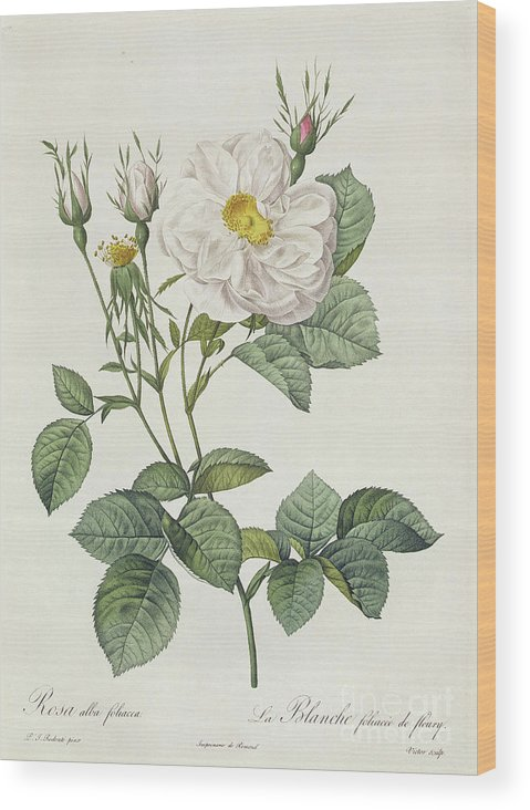Rosa Wood Print featuring the drawing Rosa Alba Foliacea by Pierre Joseph Redoute