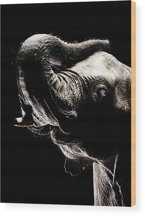 Animal Trunk Wood Print featuring the photograph African Elephant With The Trunk Raised by Henrik Sorensen
