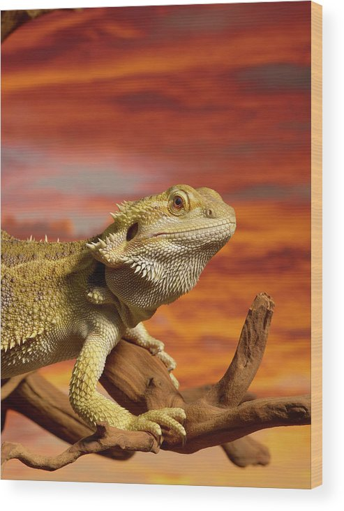 Pets Wood Print featuring the photograph Bearded Dragon Pogona Vitticeps On by Don Farrall
