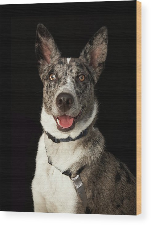 Pets Wood Print featuring the photograph Grey And White Australian Shepherd With by M Photo