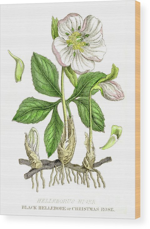 Engraving Wood Print featuring the digital art Hellebore Botanical Engraving 1857 by Thepalmer