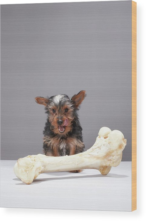 Pets Wood Print featuring the photograph Puppy With Oversized Bone by Martin Poole