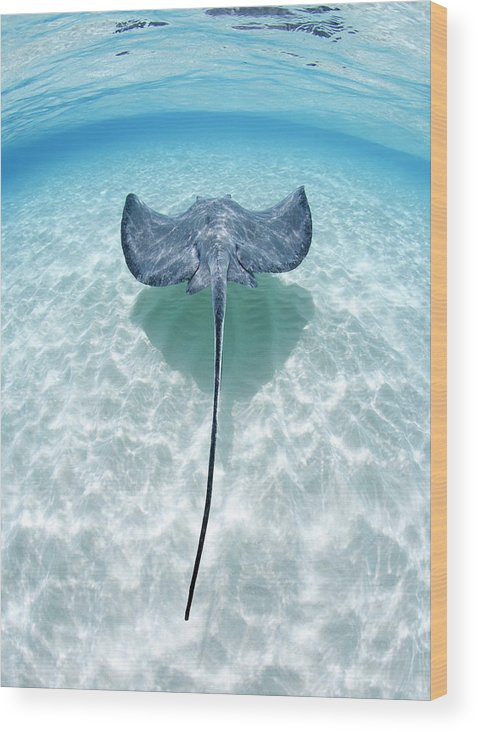 Underwater Wood Print featuring the photograph Southern Stingray Cayman Islands by Justin Lewis