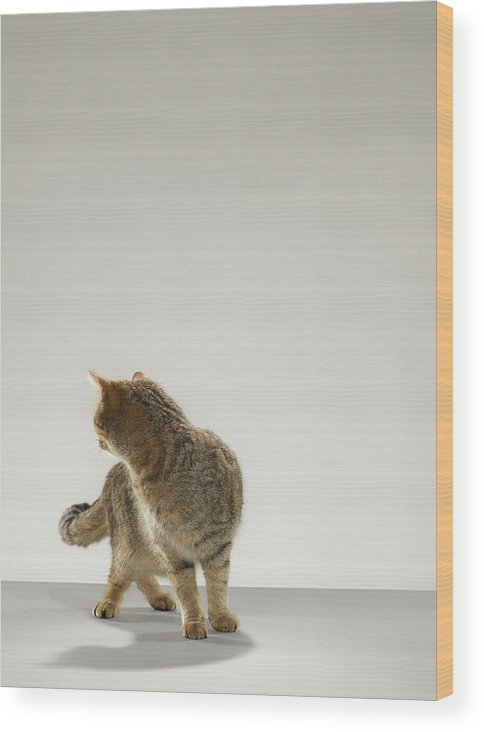 Pets Wood Print featuring the photograph Tabby Cat Looking Behind by Michael Blann