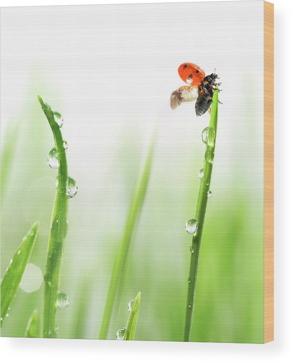 Hanging Wood Print featuring the photograph Ladybug On Green Grass by Sbayram