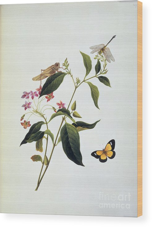 Insect Wood Print featuring the photograph Insects by British Library