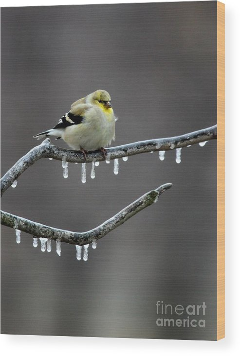 Nature Wood Print featuring the photograph American Goldfinch by Jack R Brock