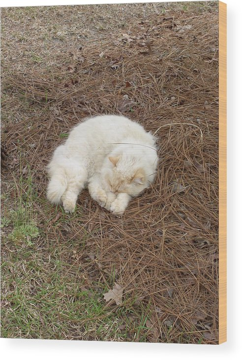 Cat Wood Print featuring the photograph Sleeping Ivory The Cat by Peggy Wilburn