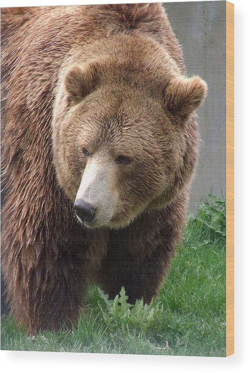 Grizzly Bear Wood Print featuring the photograph Grizzly Bear by Tiffany Vest