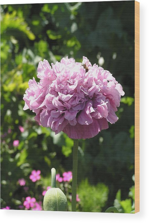 Poppy Wood Print featuring the photograph Mauve Peony Poppy by Helen Penwill