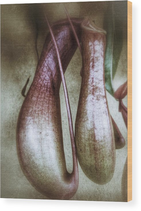 Flower Wood Print featuring the photograph Pitcher Flower Sarracenia by Pedro Vit