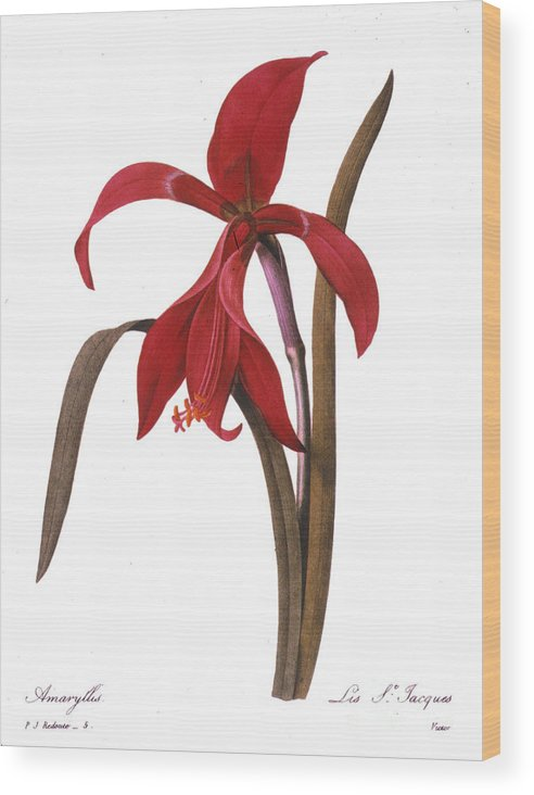1833 Wood Print featuring the photograph Redout�: St. James Lily by Granger