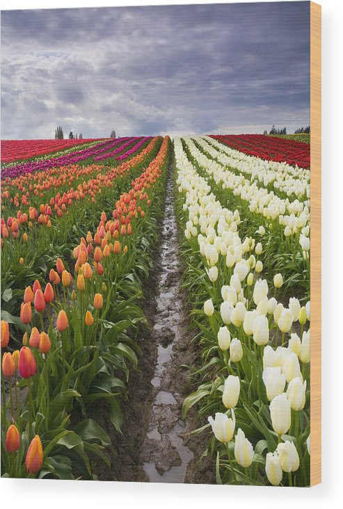 Tulips Wood Print featuring the photograph Sea Of Color by Mike Dawson