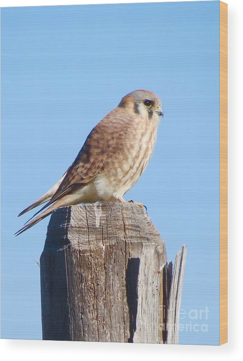 Kestrel Wood Print featuring the photograph Sitting Pretty by Aimee Mouw