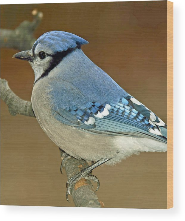 Animal Portrait Wood Print featuring the photograph Blue Jay Animal Portrait by A Gurmankin