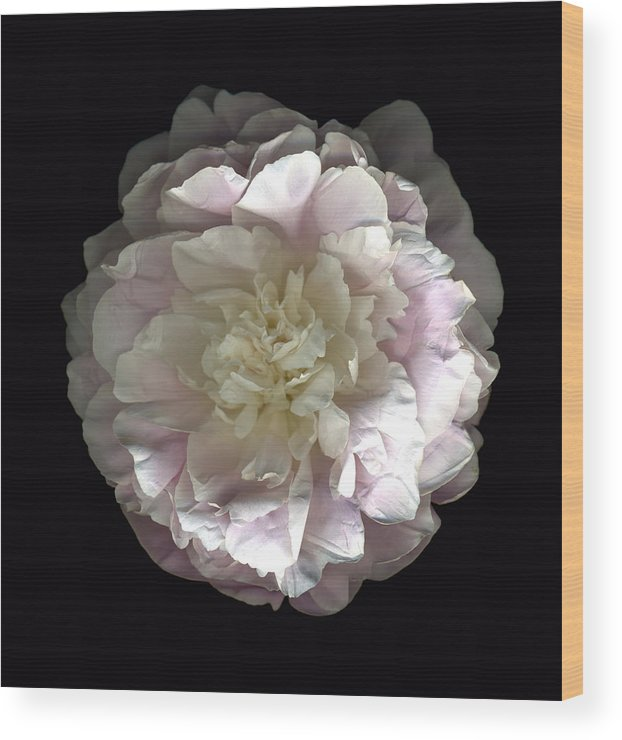Scanography Wood Print featuring the photograph Blush Peony Open by Deborah J Humphries