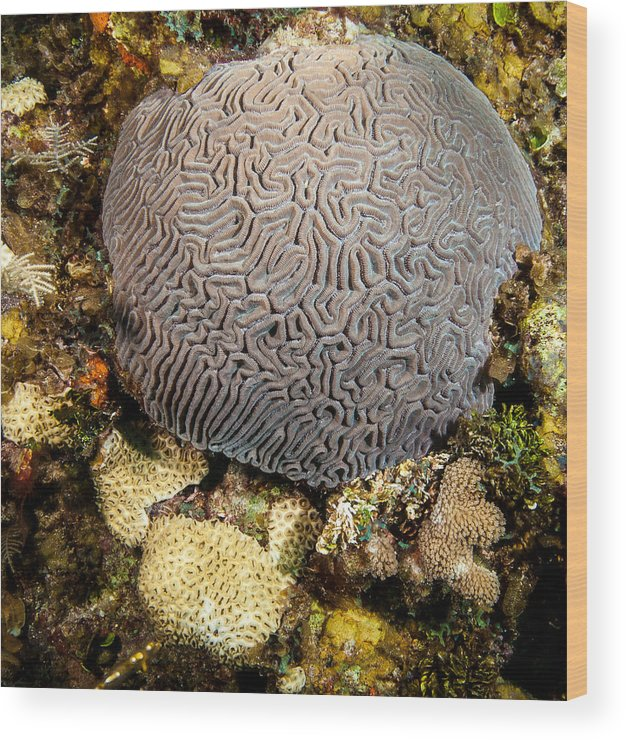 Belize Wood Print featuring the photograph My Brain Underwater by Jean Noren