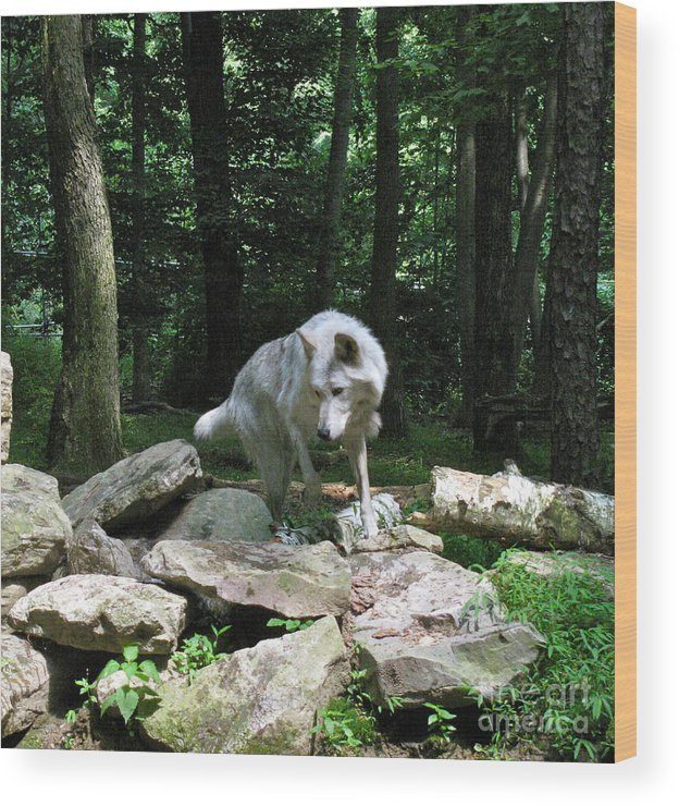 Wild Wolves Group A Wood Print featuring the photograph The Wild Wolve Group A by Debra   Vatalaro