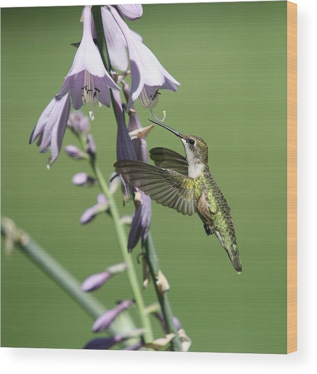 Hummingbird Wood Print featuring the photograph Hummingbird by Paul McCarthy