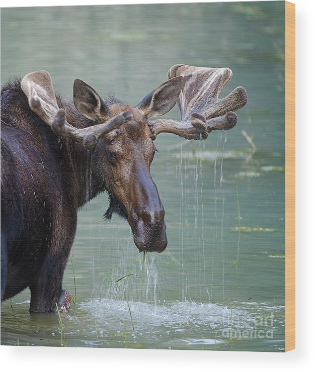 Deer Wood Print featuring the photograph Bull Moose In Water Wetland Pond Lake by Tom Reichner
