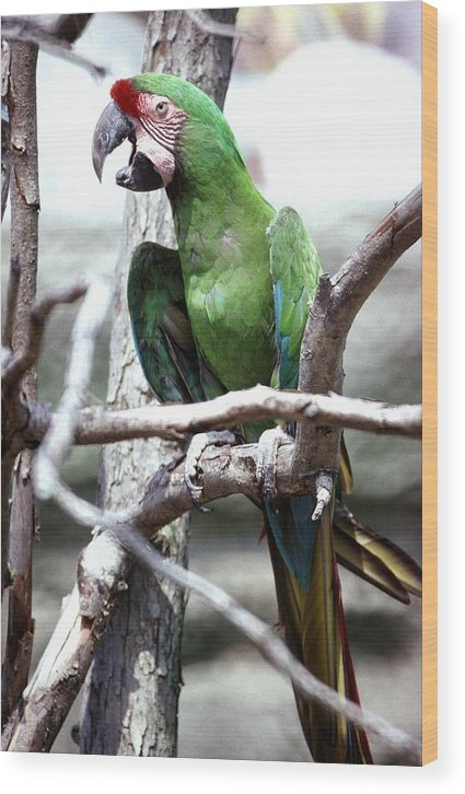 Macaw Wood Print featuring the photograph 92347-10 by Mike Davis