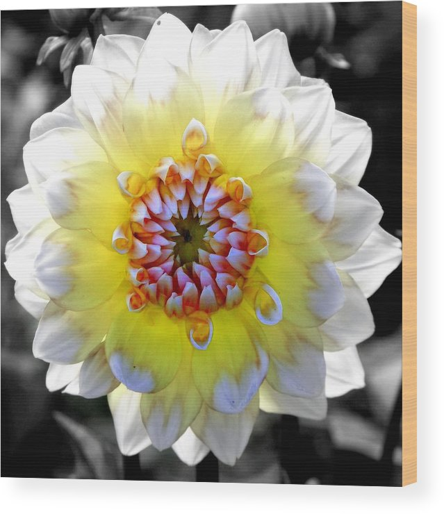 Flowers Wood Print featuring the photograph Colorwheel by Karen Wiles