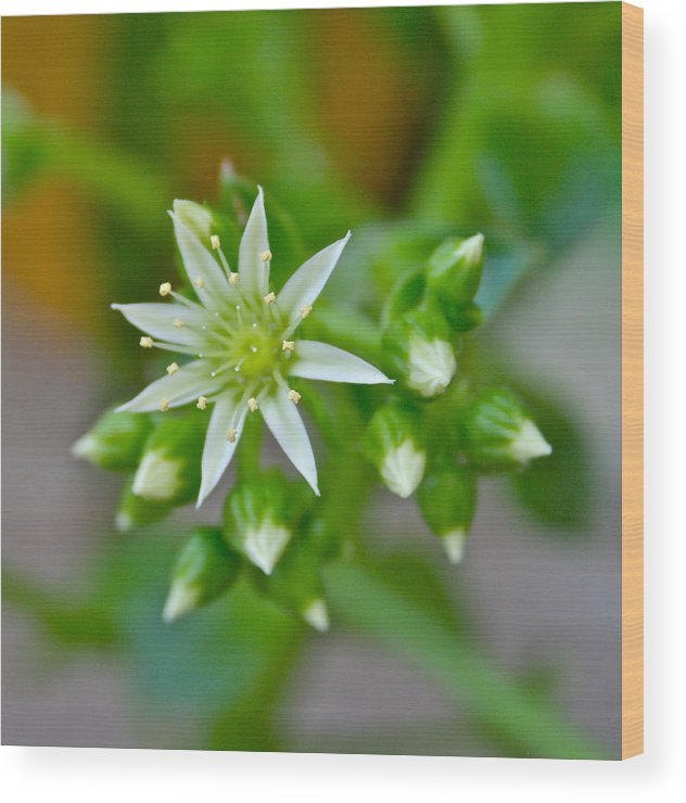 White Wood Print featuring the photograph Little White Star by Ruth Edward Anderson