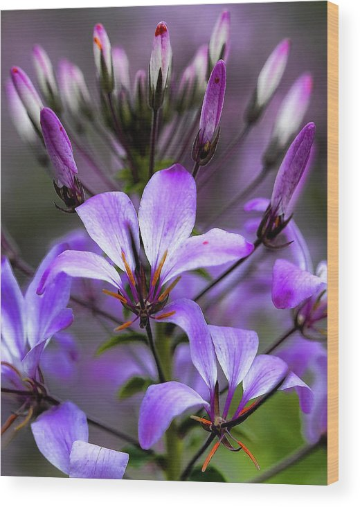 New England Wood Print featuring the photograph Cleome - Rose Queen by Thomas J Martin
