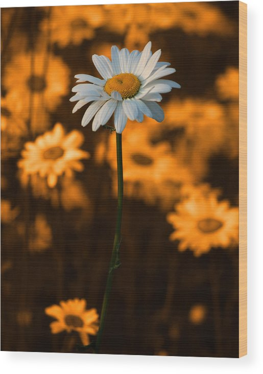 Daisy Wood Print featuring the photograph Standing Alone by Linda McRae