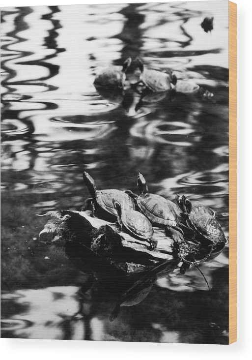 Turtles Wood Print featuring the photograph Sun Worshippers by Allan McConnell