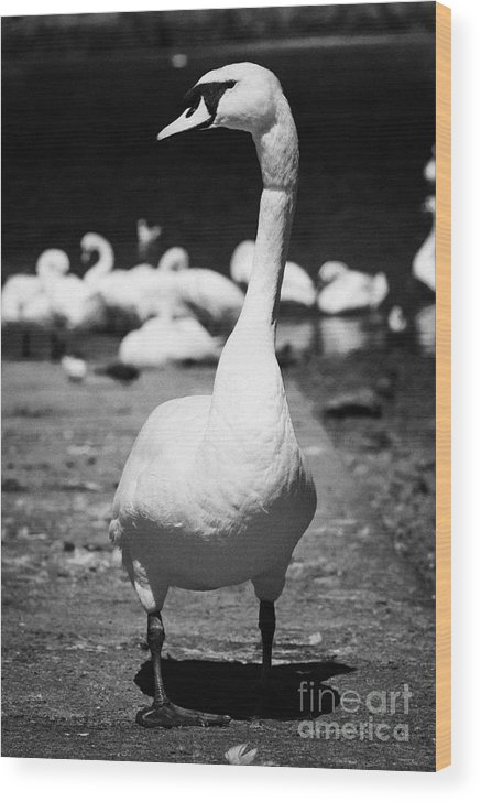 Galway Wood Print featuring the photograph large swan on slipway protecting flock in galway bay Galway city county Galway Republic of Ireland by Joe Fox