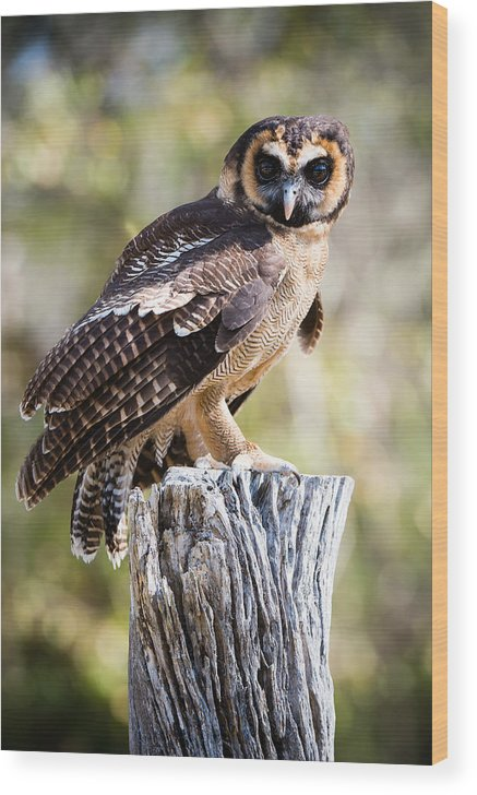 Awendaw Wood Print featuring the photograph Asian Brown Wood Owl by Chris Smith