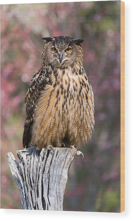 Awendaw Wood Print featuring the photograph Eurasian Eagle-owl by Chris Smith