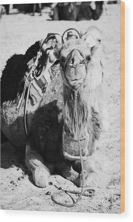 Tunisia Wood Print featuring the photograph saddled dromedary camel sitting on the sand in the sahara desert at Douz Tunisia by Joe Fox