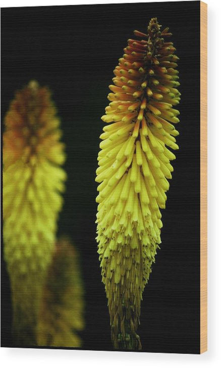 Yellow Wood Print featuring the photograph Stalks by Alfredo Martinez