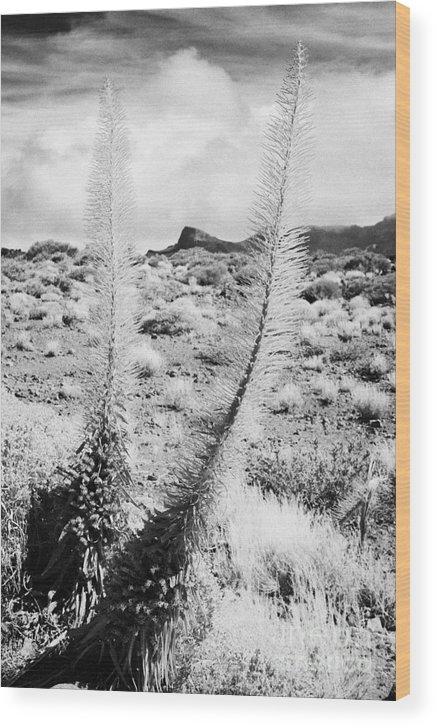 Europe Wood Print featuring the photograph two echium wildpretii vipers bugloss tajinaste rojo in desert teide national park Tenerife Canary Islands Spain by Joe Fox