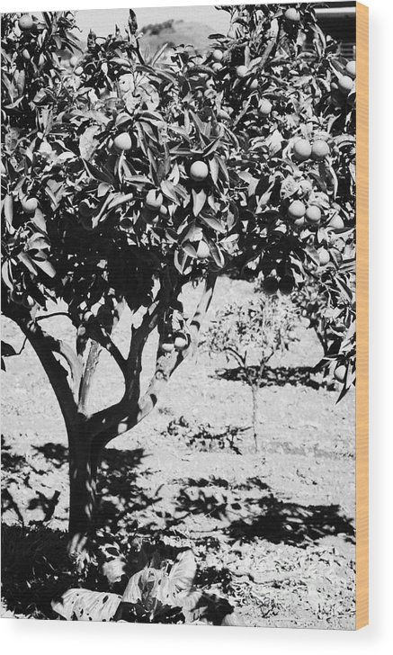 Europe Wood Print featuring the photograph vertical branches of green unripened oranges on an orange tree bush growing in a garden Tenerife Canary Islands Spain by Joe Fox
