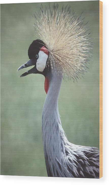 Crowned Crane Wood Print featuring the photograph 92347-5 by Mike Davis