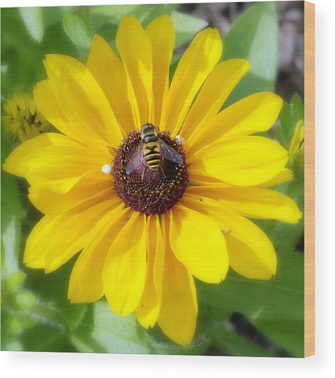 Daisy Wood Print featuring the photograph Bee Mine-2 by Charles Feagans